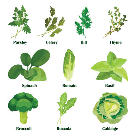 Green salad leaves. Vector vegetarian healthy food leaf set isolated on white Illustration