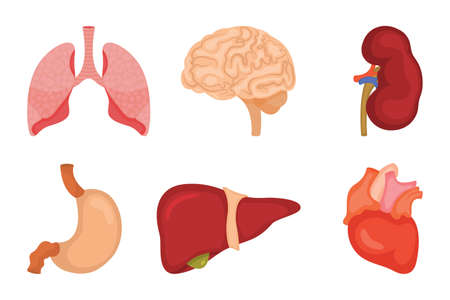 Human internal organs icon set. Vector illustration in cartoon style isolated on white background Illustration