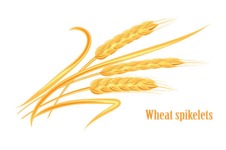 Wheat spikelet. Agricultural wheat, symbol, isolated on white background. Organic agricultural agricultural crops or beer label. Vector spikelets of wheat. Illustration