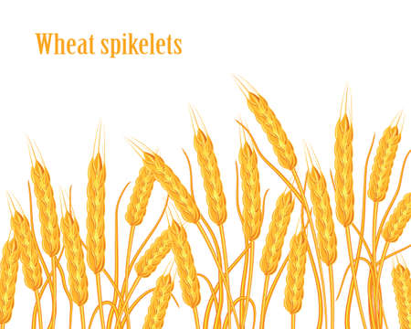 A set of spikelets of golden wheat, rye, barley on a white background of various shapes. Vector illustration. Illustration
