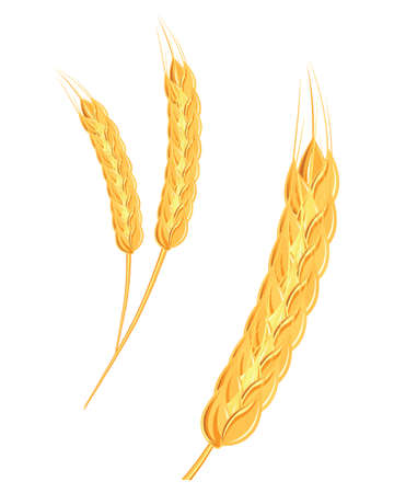 A set of spikelets of golden wheat, rye, barley on a white background of various shapes.
