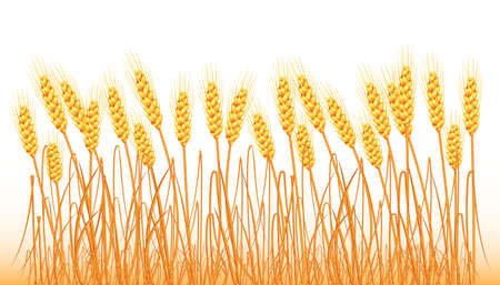 A set of spikelets of golden wheat, rye, barley on a white background of various shapes. Vector.