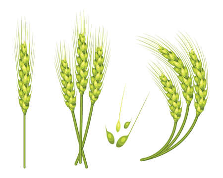 Set of vector wheat in 3d isolated white background with seed addition vector illustration.