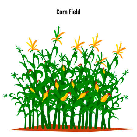 Field of corn on a white isolated background. Vector illustration.