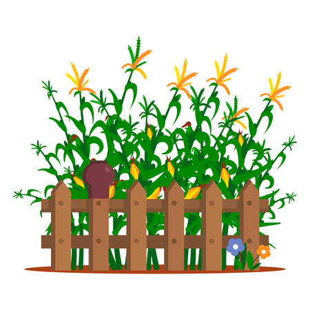 Field of corn behind the fence on a white background isolated. Vector illustration.