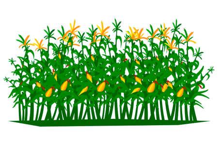 Campo de maíz sobre un fondo blanco aislado. Ilustración vectorial. Ilustración de vector