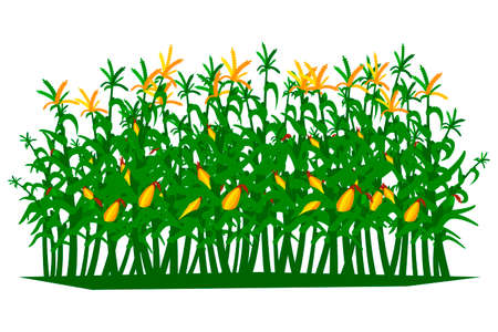 Field of corn on a white background isolated. Vector illustration.