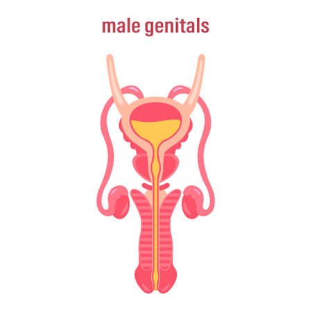 Female reproductive system. Sex organs. Vector illustration on white background