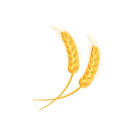 Ears of wheat or rice. Agricultural wheat spikelets symbols isolated on white background. Organic farm, crop seed bread packaging or beer label. Wheat spikelets vector.