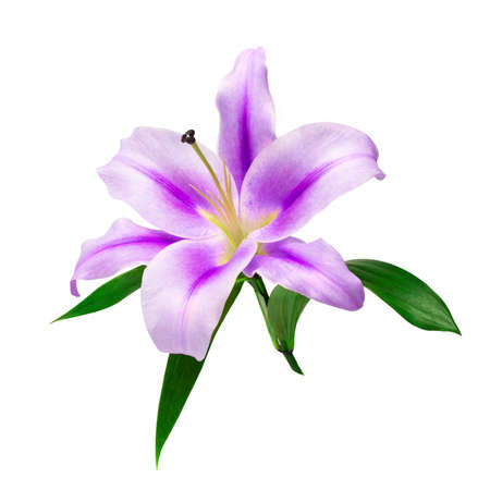 Beautiful branch of purple lily closeup isolate on a white background with green leaves. For greeting cards and decoration.