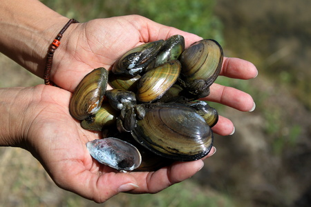 freshwater: Freshwater mussels caught in the lake Stock Photo