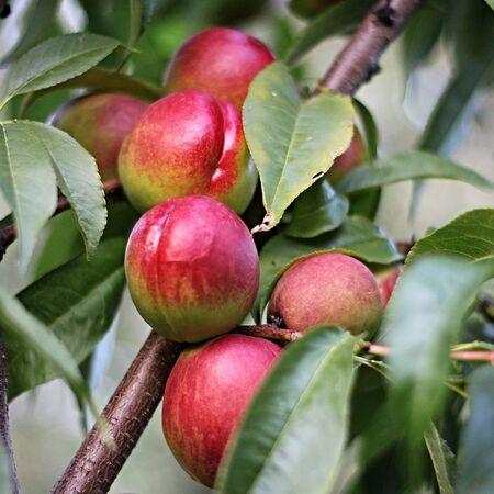 matures: Nectarines Ripen on the tree Stock Photo