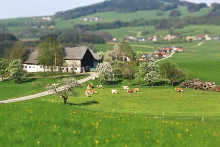 austrian village: Cow grazing on lush pastures Austrian village