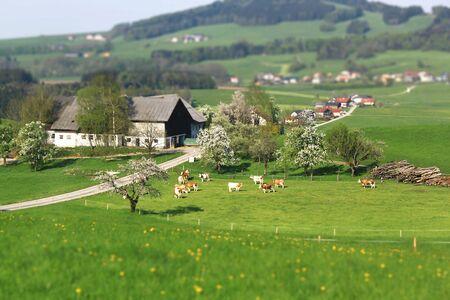 pastures: Cow grazing on lush pastures Austrian village