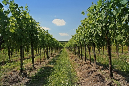 ripened: Ripened grapes in the vineyard