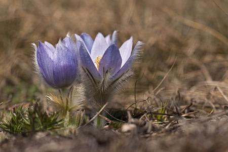 pulsatilla: Pulsatilla slavica blooming on hillside