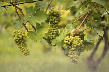 bunches: Bunches of grapes ripened in vineyards