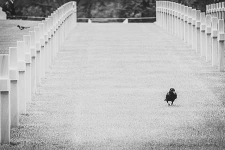 Black and white image of raven walking among the graves in omaha cemetery. Normandy. Concept of bad luck.