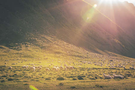 Flock of sheeps everyhere on the valley of Kobi in Kazbegi national park with sunflare peaking on the right corner.