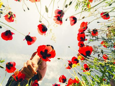Young brunette caucasian woman pick poppy flower with stunning sunset background outdoors Standard-Bild