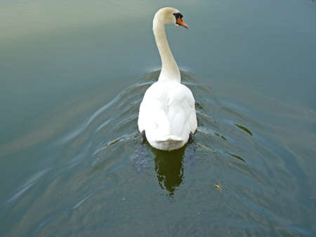 Bad Karlshafen, Germany - July 8, 2013 - Lonely white swan from behind Stock Photo - 21030354