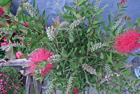 Exotic blossoms, Callistemon