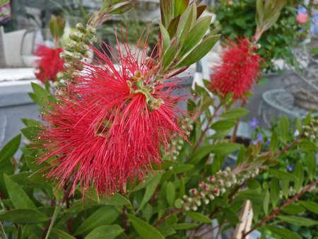 Red exotic blossoms, Callistemon
