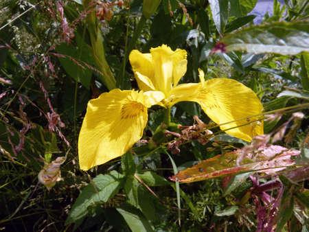 Gelbe Seerose am Ufer des Sees