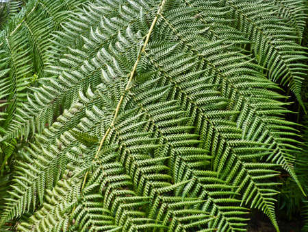 Great palm leaves or fern, close up