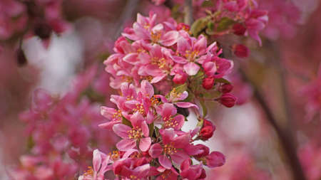 Pink blossoms of wild cherry