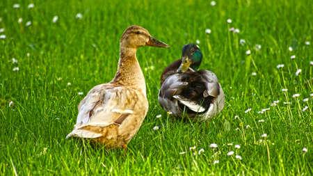 Mallards on the green meadow Standard-Bild