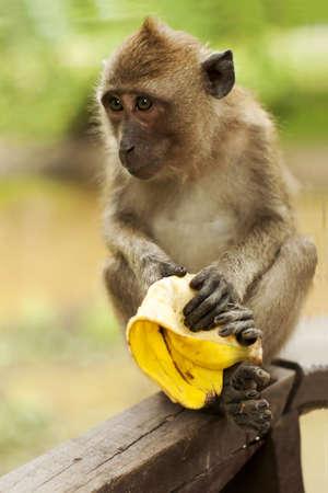 comiendo platano: Monkey eating banana