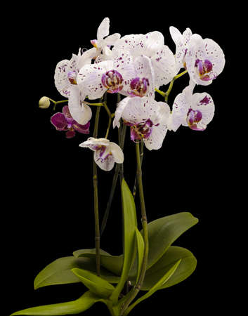Flowering bush of white orchids. Isolate on black background. Stock Photo