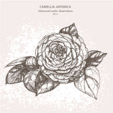 Botanische vector illustratie van een tuin decoratieve bloem Camellia japonica op een lichte achtergrond. Handtekening.