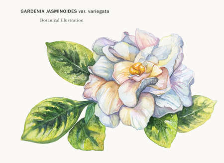 Watercolor drawing from the hand of the flower Gardenia. Botanical illustration on a light background. Stock Photo