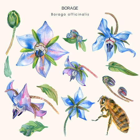 Set from elements of a culinary, officinal and melliferous plant of Borage (Borago officinalis), or starflower. Watercolor illustration.