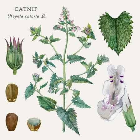 料理と癒しの植物図プラント キャットニップ (Nepeta cataria l.)水彩イラスト。