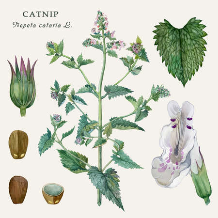 Botanical illustration of the culinary and healing plant Catnip (Nepeta cataria L.) Watercolor illustration.