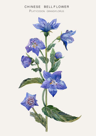 Botanical illustration of a Chinese bellflower ( Platycodon grandiflorus ). Watercolor drawing. Stock Photo