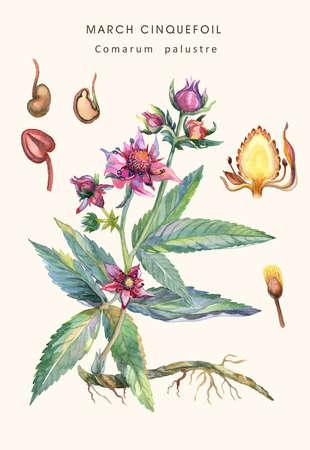 Botanical water color illustration of a herb of Purple Marshlocks (comarum palustre), or swamp cinquefoil, marsh cinquefoil.