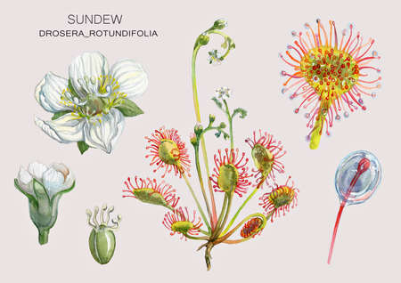 Sundew (Drosera rotundifolia) a swamp medicinal plant-predator. Botanical illustration. Watercolor painting.