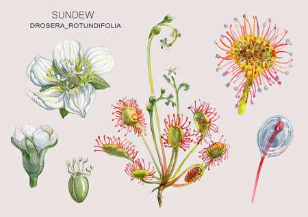 Sundew (Drosera rotundifolia) un pantano planta medicinal-depredador. Ilustración botánica. Pintura de acuarela. Foto de archivo - 86051548