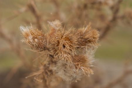 scratchy: dry thistle Stock Photo