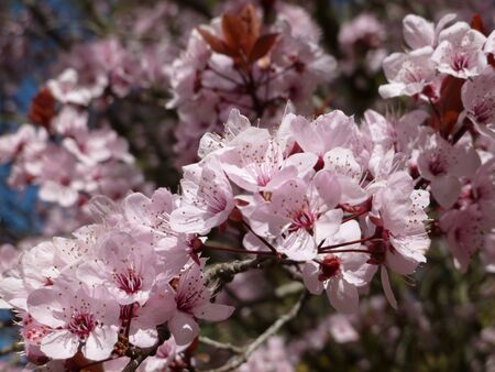 Ornamental plum blossoms