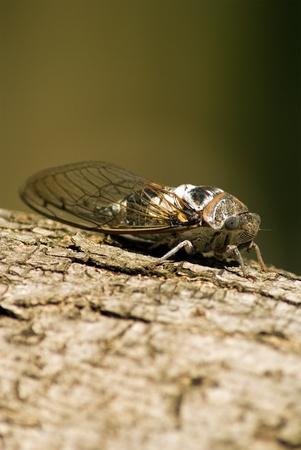 cicada bug: a mediterranean cicada on a olive tree