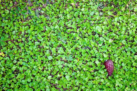 carpet of clover field Stock Photo