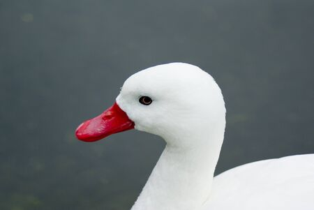 white duck swiming in lake