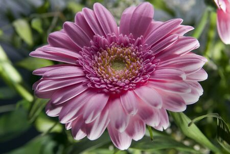 pink gerbera on a natural green background
