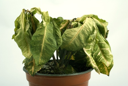 green plant: dying plant in a pot Stock Photo