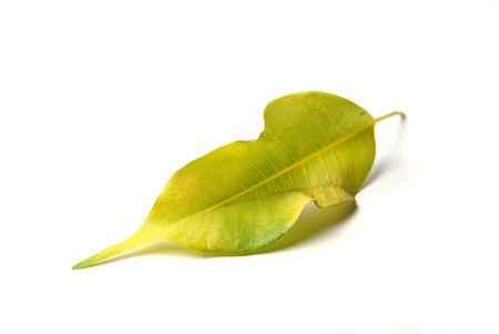 a green yellow leaf on white background
